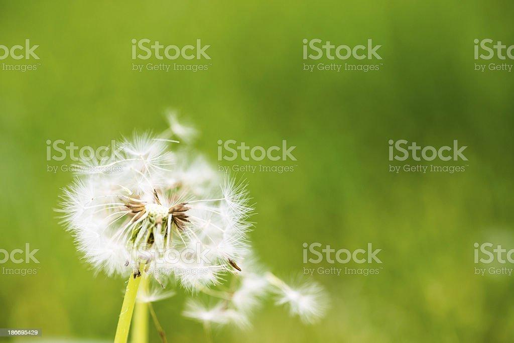 Dandelion with green bokeh stock photo