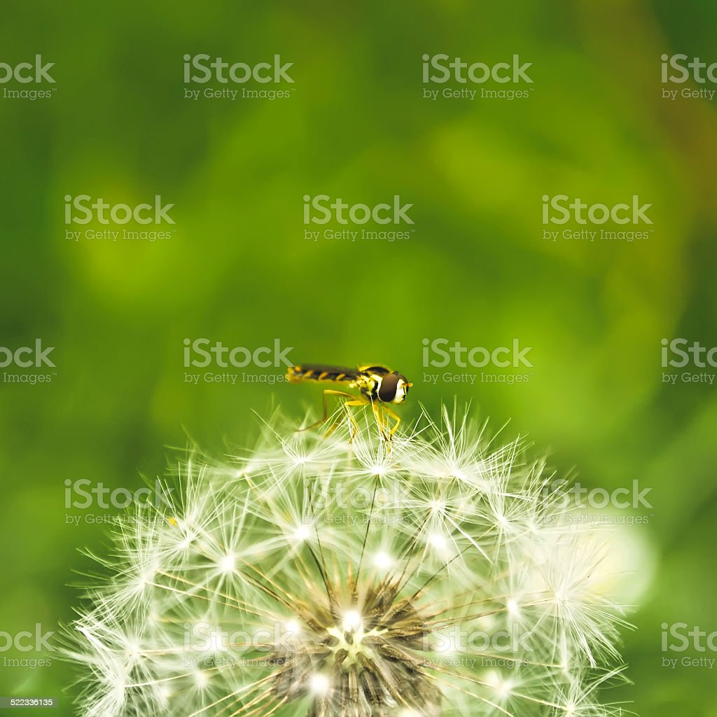 Dandelion with insect stock photo