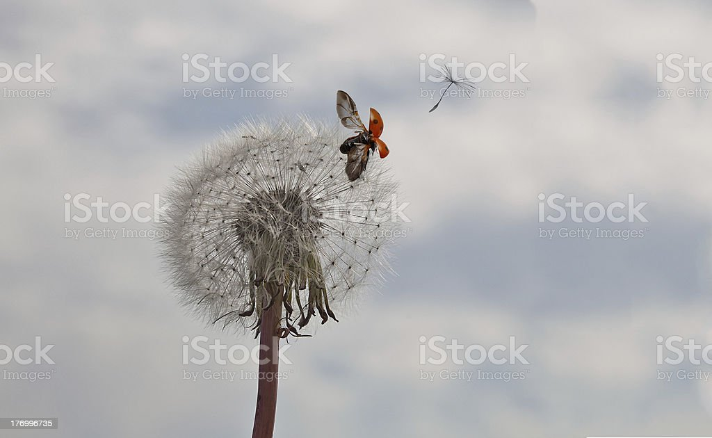 dandelion with seed and ladybird royalty-free stock photo