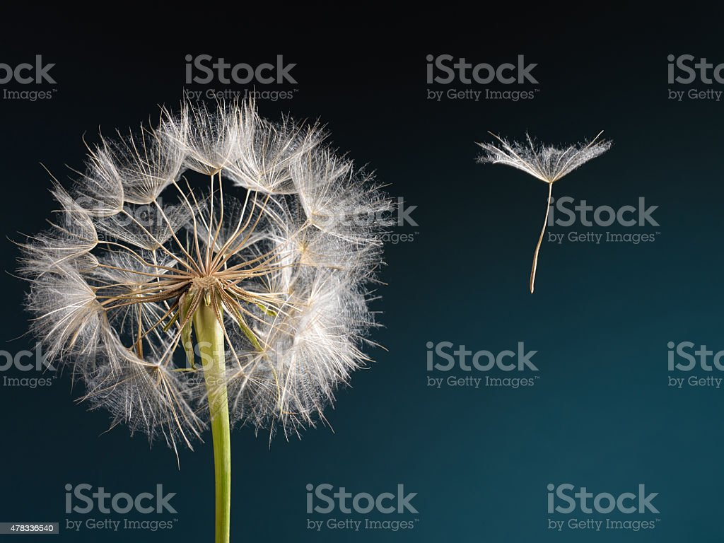 Dandelion with seed blowing away in the wind stock photo