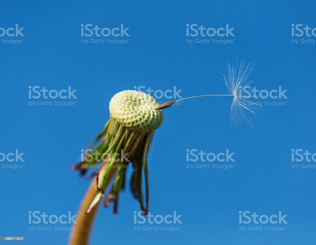 dandelion with seed stock photo