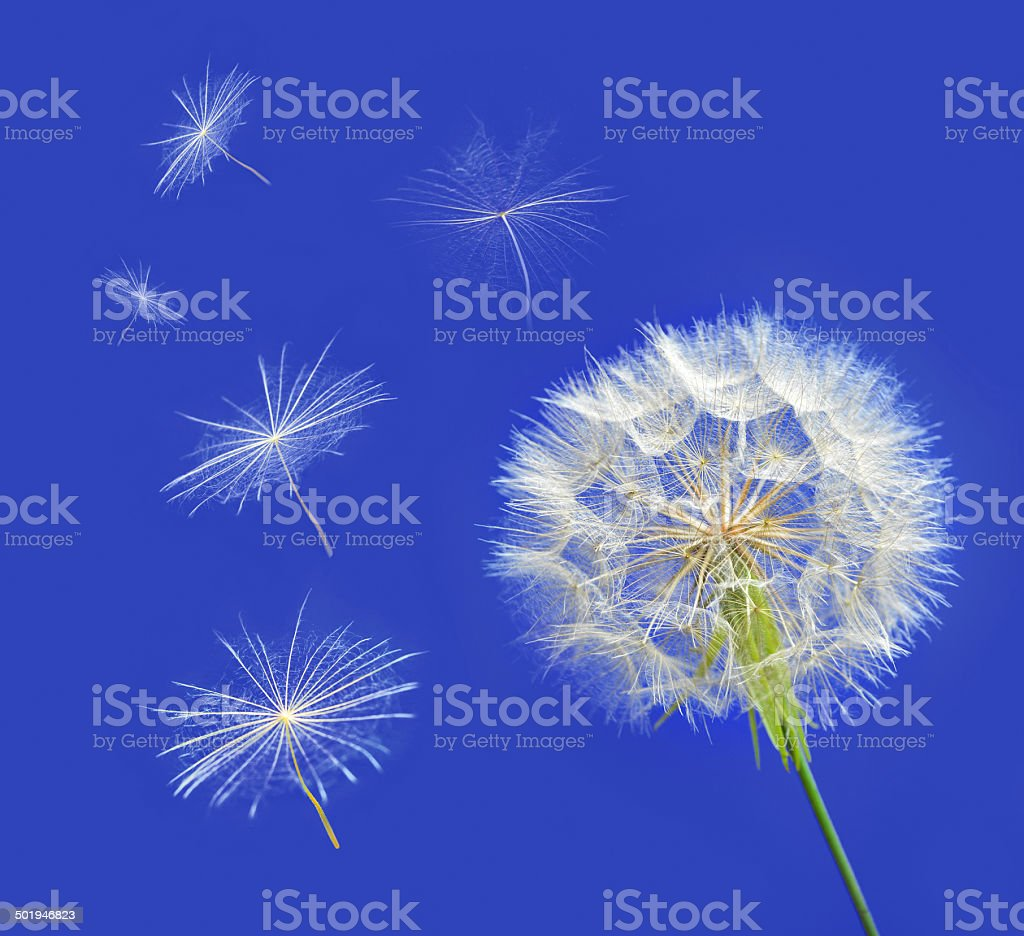 Dandelion with seeds blowing away in the wind stock photo