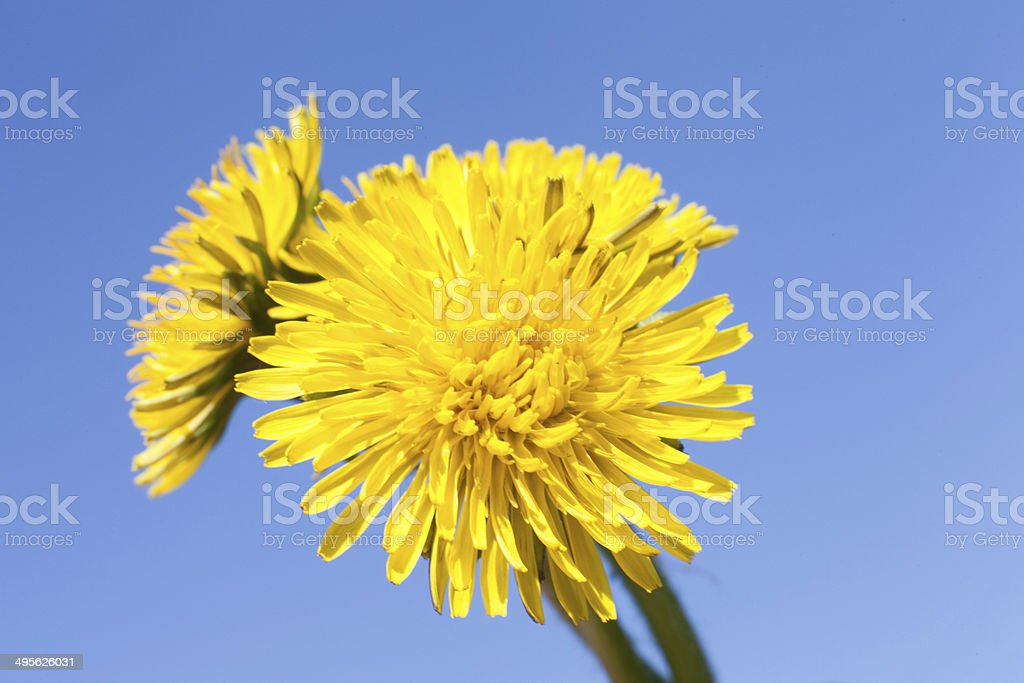 Dandelion with seeds blowing away stock photo