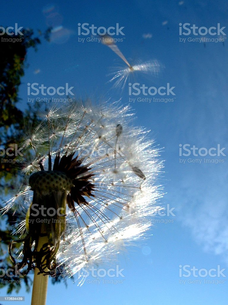 dandelion with seeds flying royalty-free stock photo