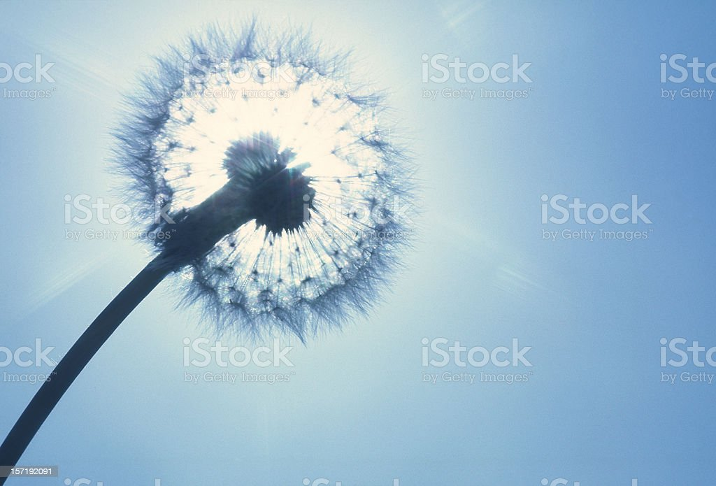Dandelion with sun behind royalty-free stock photo