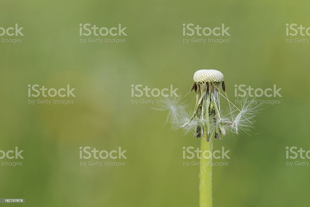 Dandelion - XLarge royalty-free stock photo
