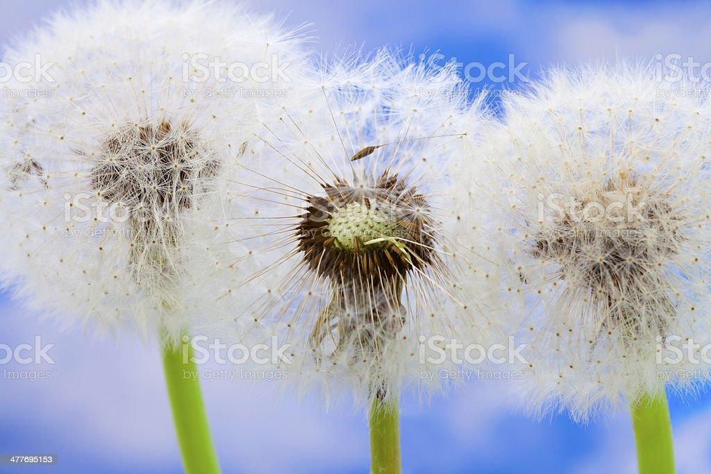 Dandelions against blue sky stock photo