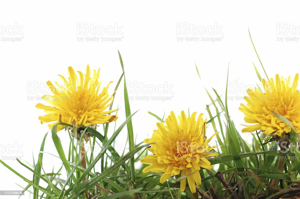 Dandelions and grass royalty-free stock photo