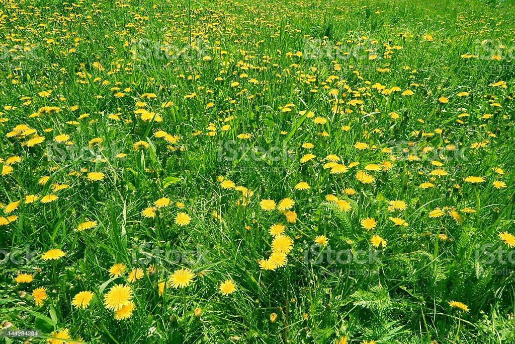 dandelions field royalty-free stock photo