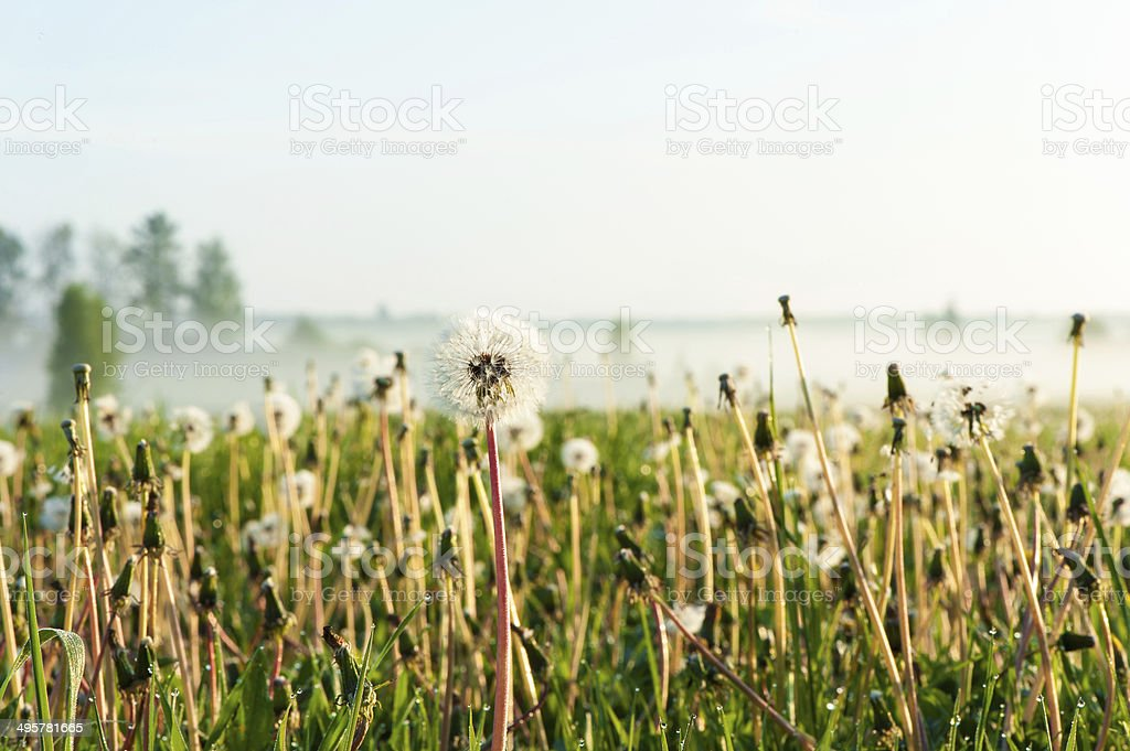 Dandelions field with morning rays of sunlight. Outdoors sunrise. stock photo