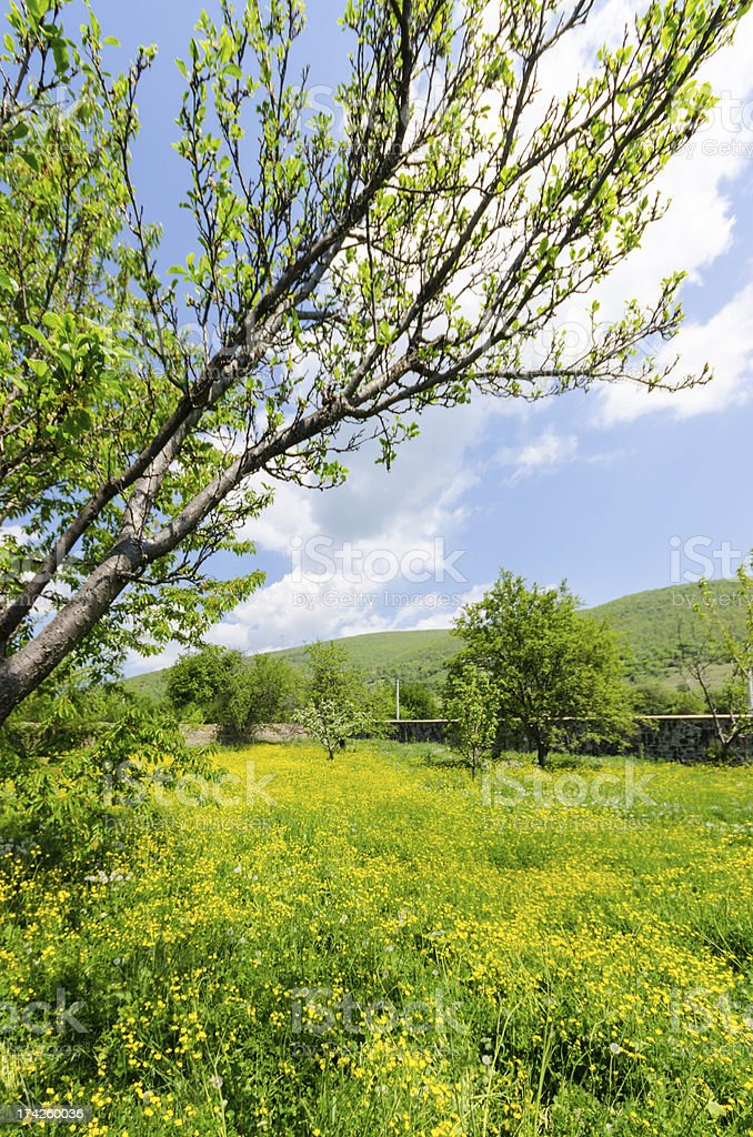 Dandelions, flowers and grass medow nature bloom background stock photo