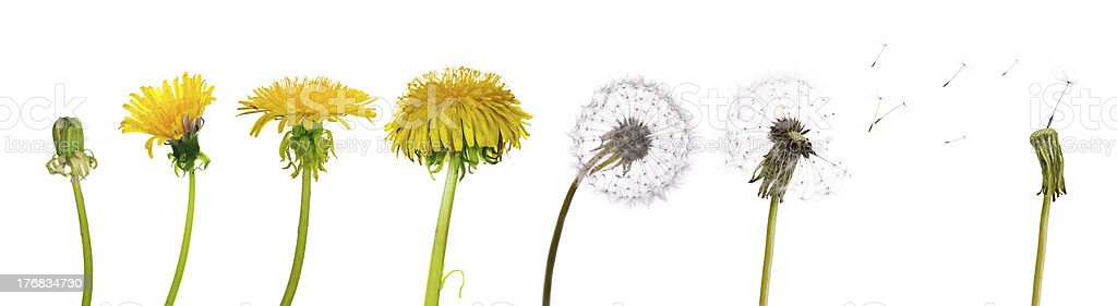 dandelions from the begining to senility stock photo