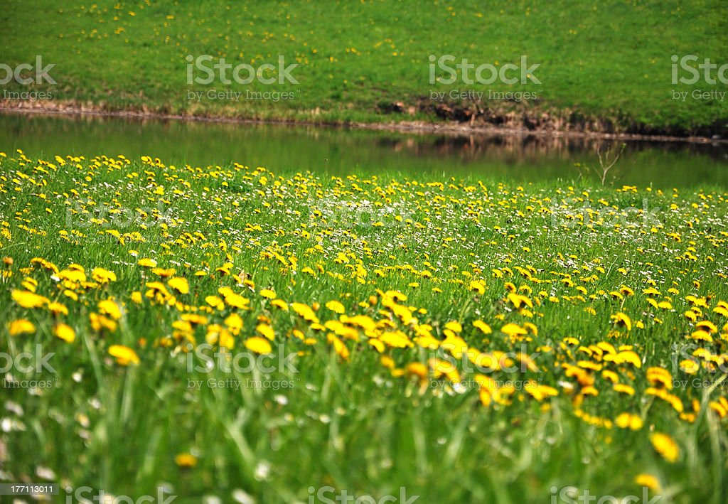 Dandelions in a meadow. royalty-free stock photo