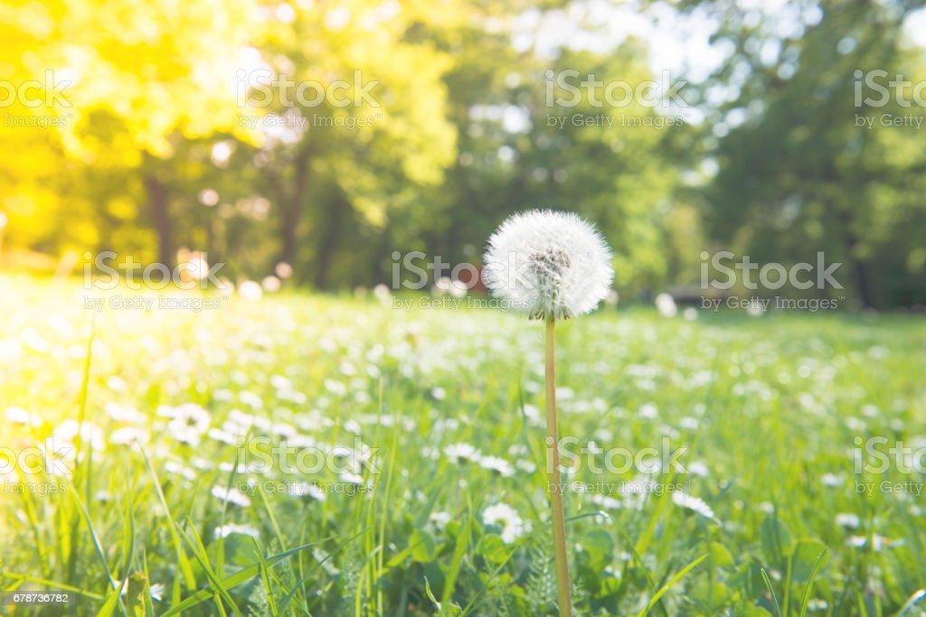 Dandelions in a spring stock photo