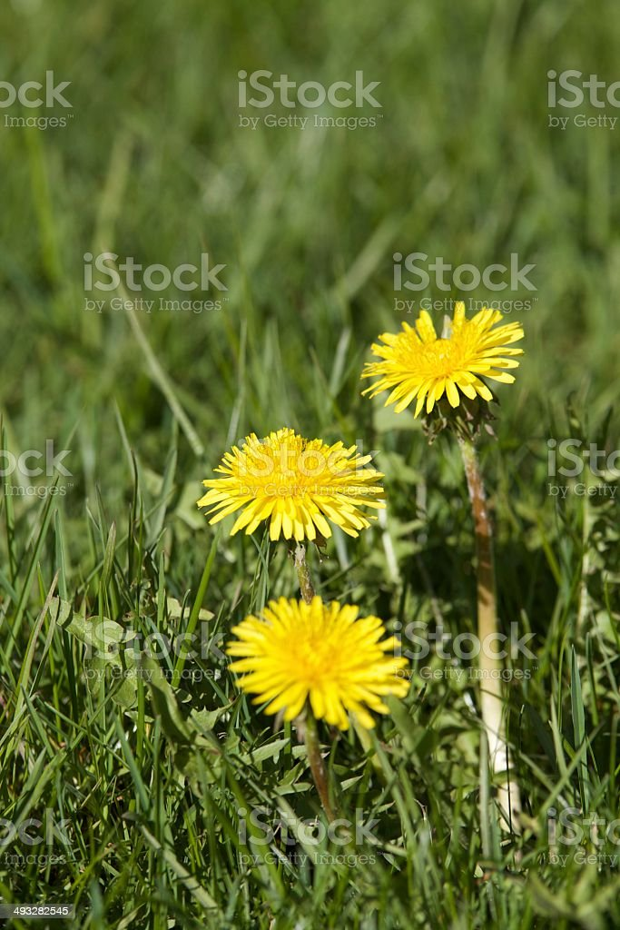 Dandelions in grass stock photo
