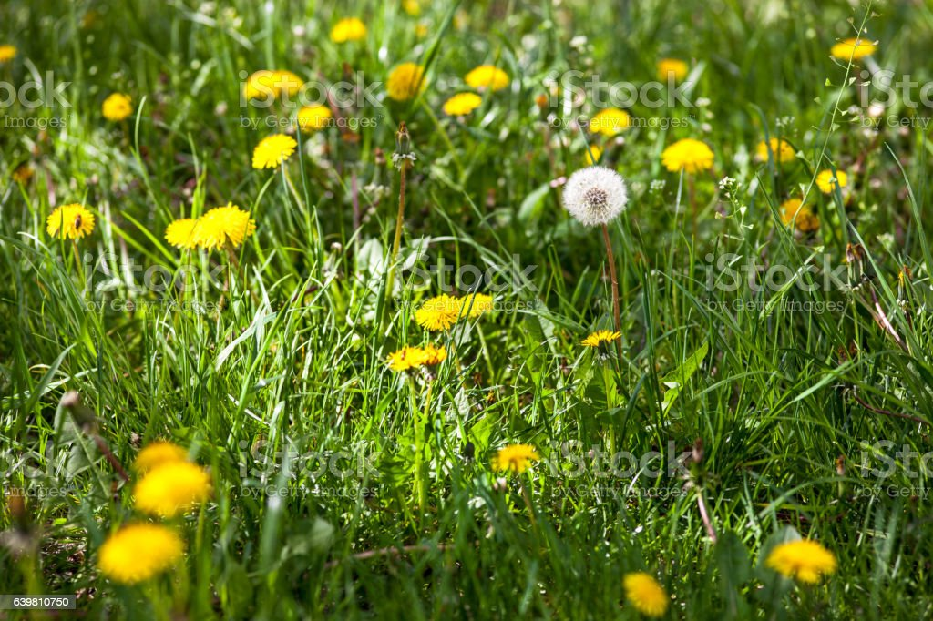 Dandelions in the green meadow stock photo