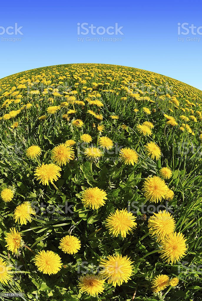 dandelions in the meadow royalty-free stock photo