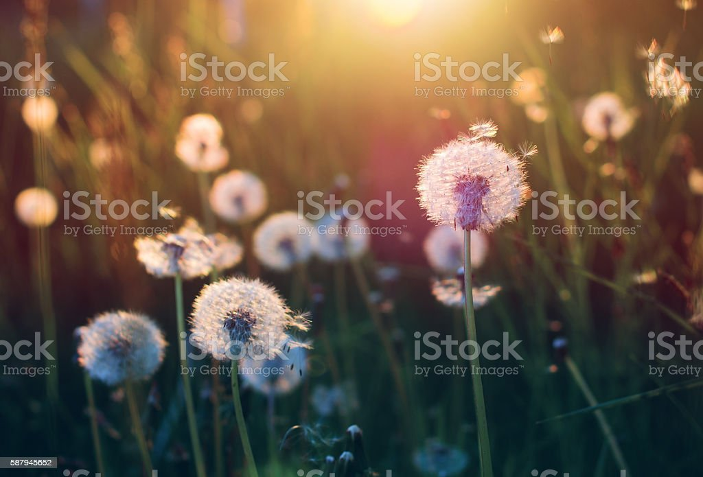 Dandelions on a sunny evening stock photo