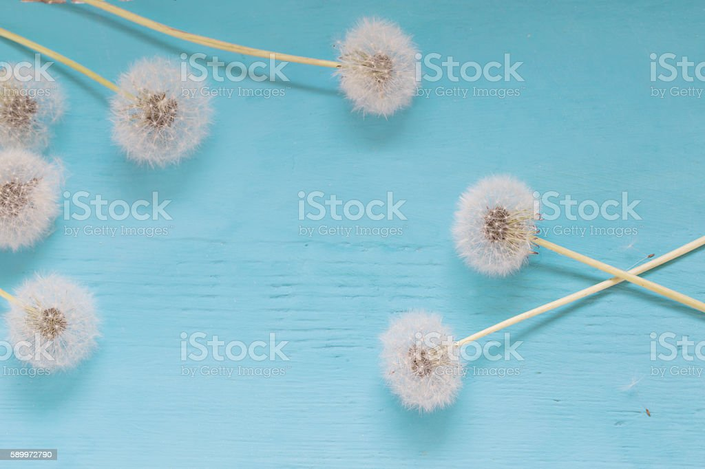 dandelions on blue wooden background stock photo