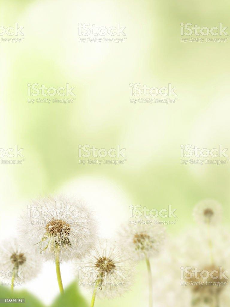 Dandelions on defocused background royalty-free stock photo