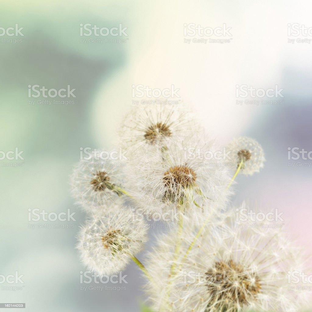 Dandelions on defocused background stock photo