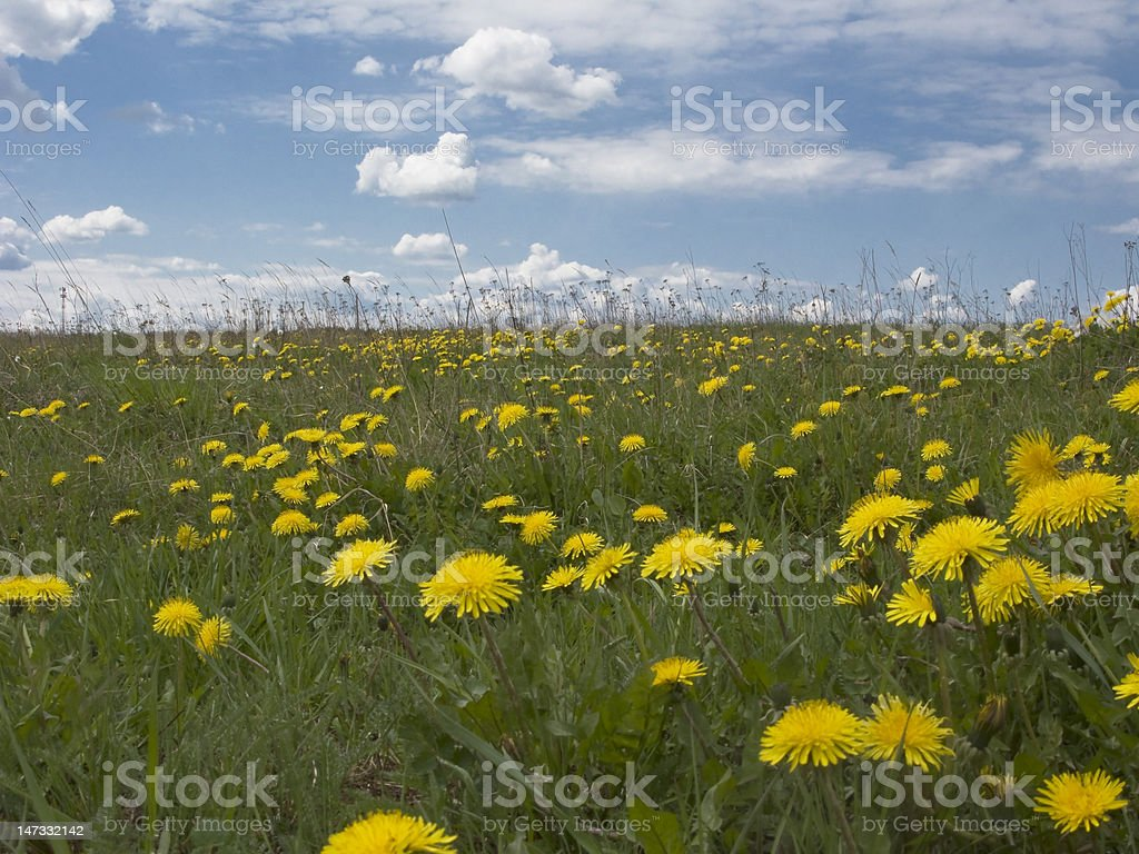 Dandelions on sky background royalty-free stock photo