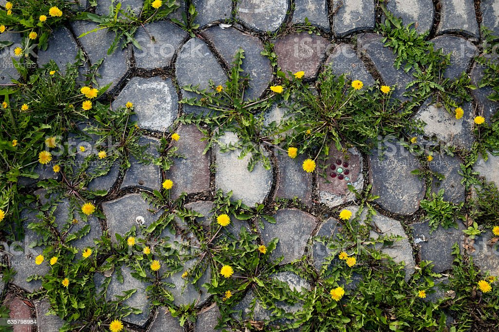 Dandelions on stone path stock photo