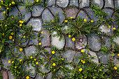 Dandelions on stone path