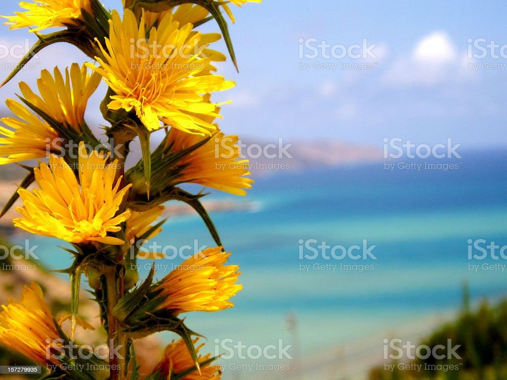 Dandelions on the Mediterranean royalty-free stock photo