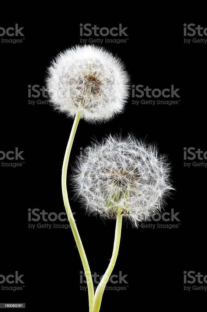 Dandelions royalty-free stock photo