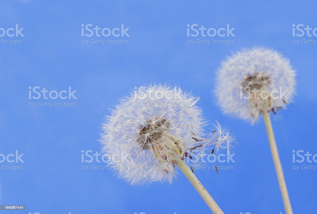Dandelions (XXL) stock photo