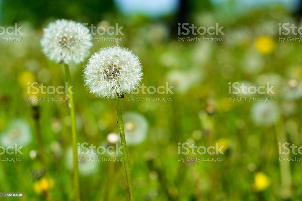 Dandelions foto de stock libre de derechos