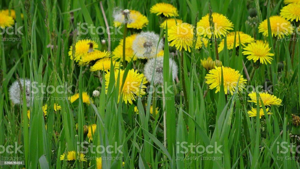 'Dandelions' stock photo