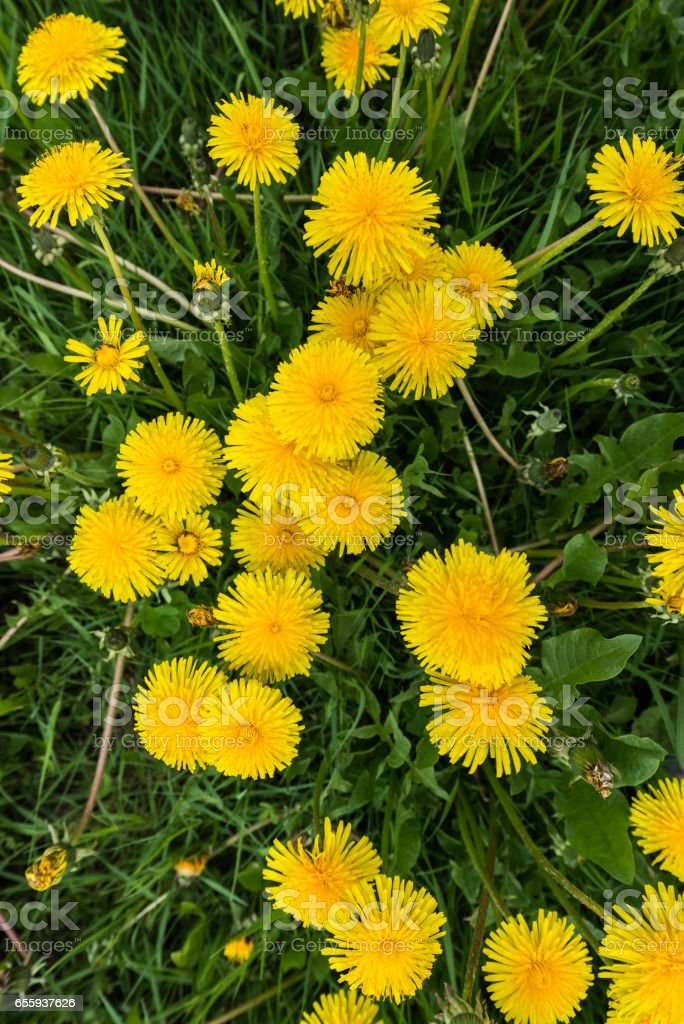 Dandelions stock photo