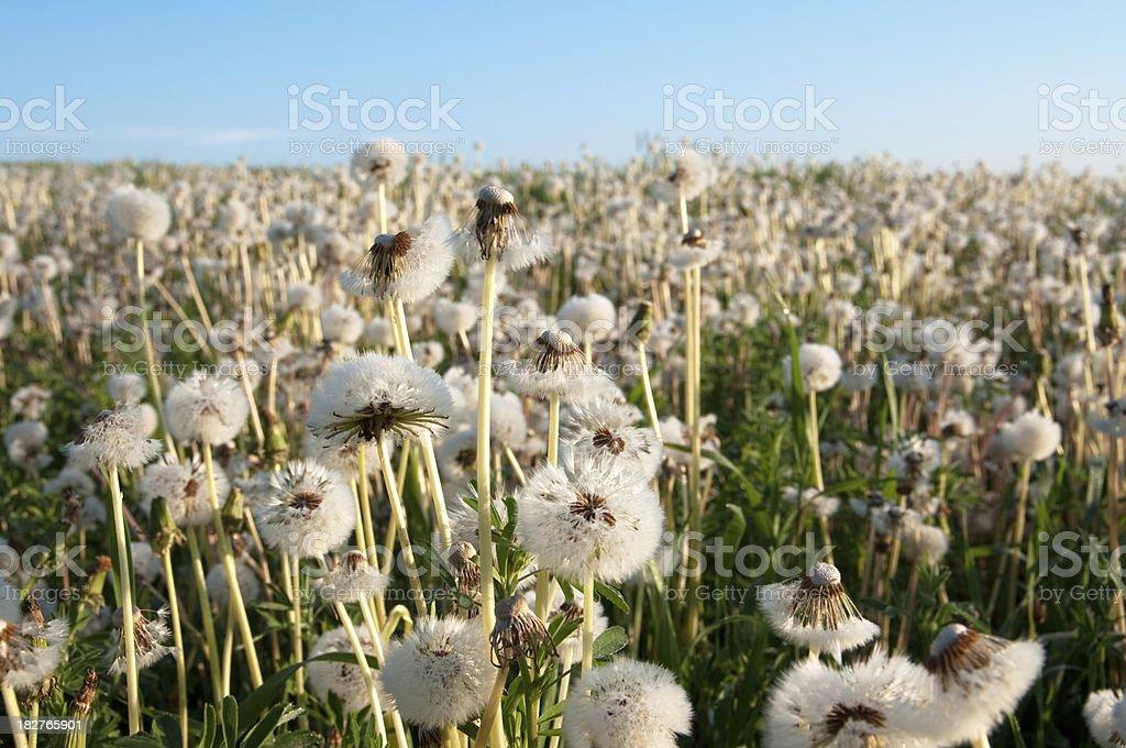 Dandelions to the Horizon stock photo