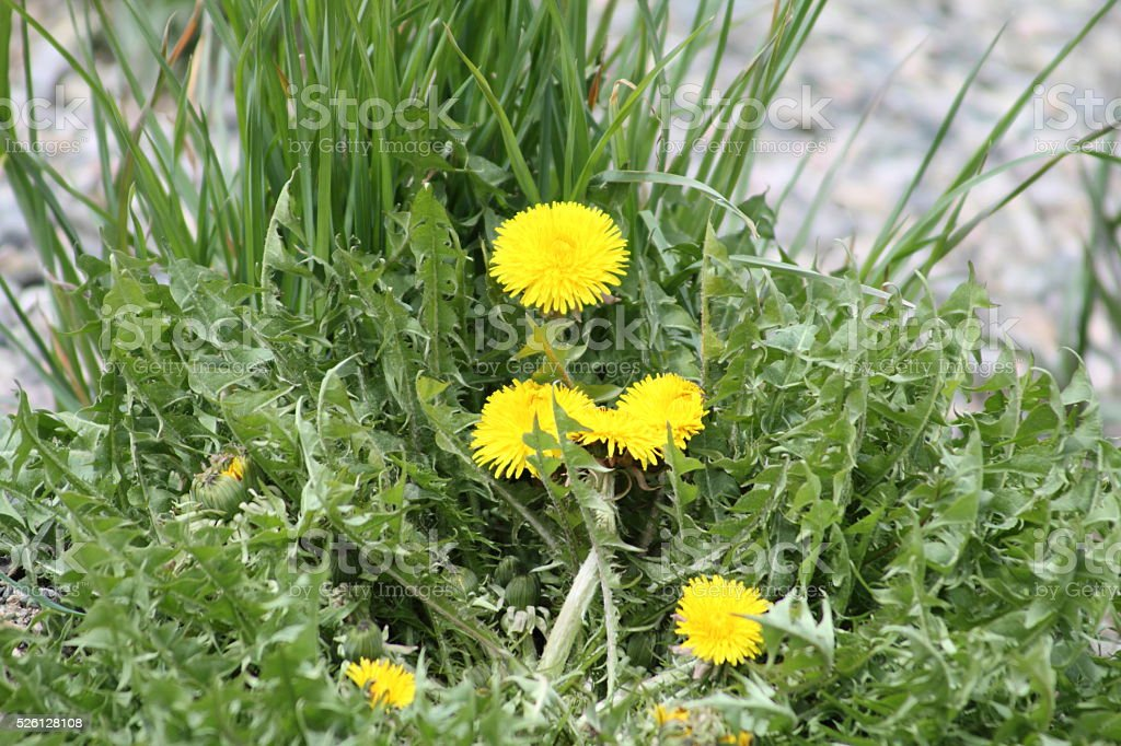 Dandelions with green behind them stock photo