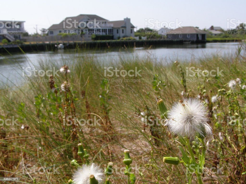 Dandelions with seeds on the waterfront stock photo