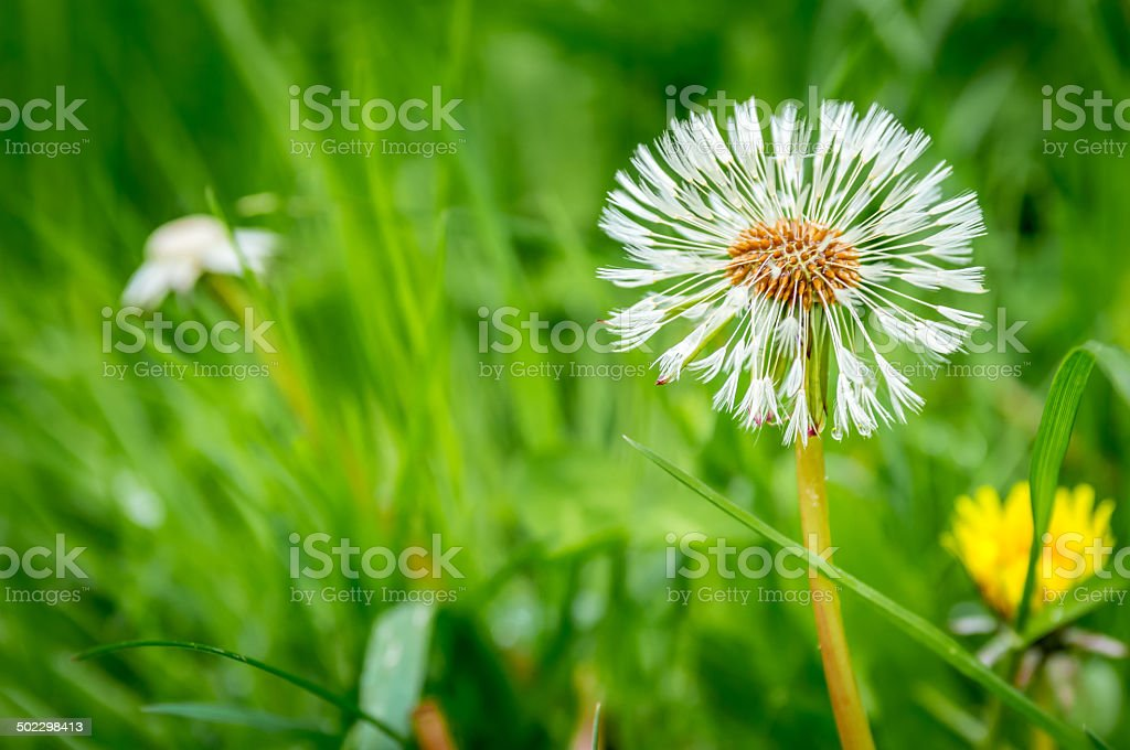 Dandilion Dreams stock photo