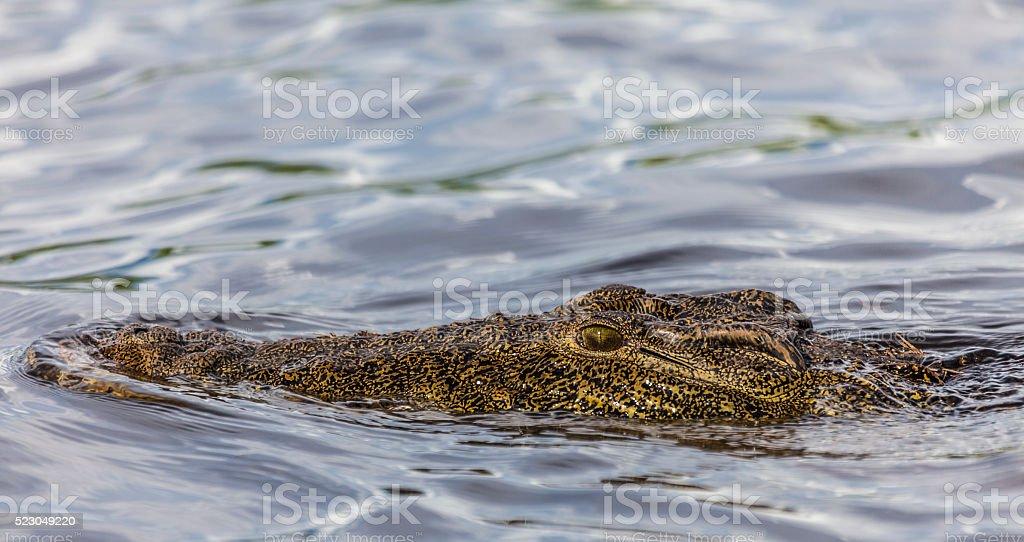 Danger lurking: Nile Crocodile (Crocodylus niloticus); Chobe N.P., Botswana, Africa stock photo