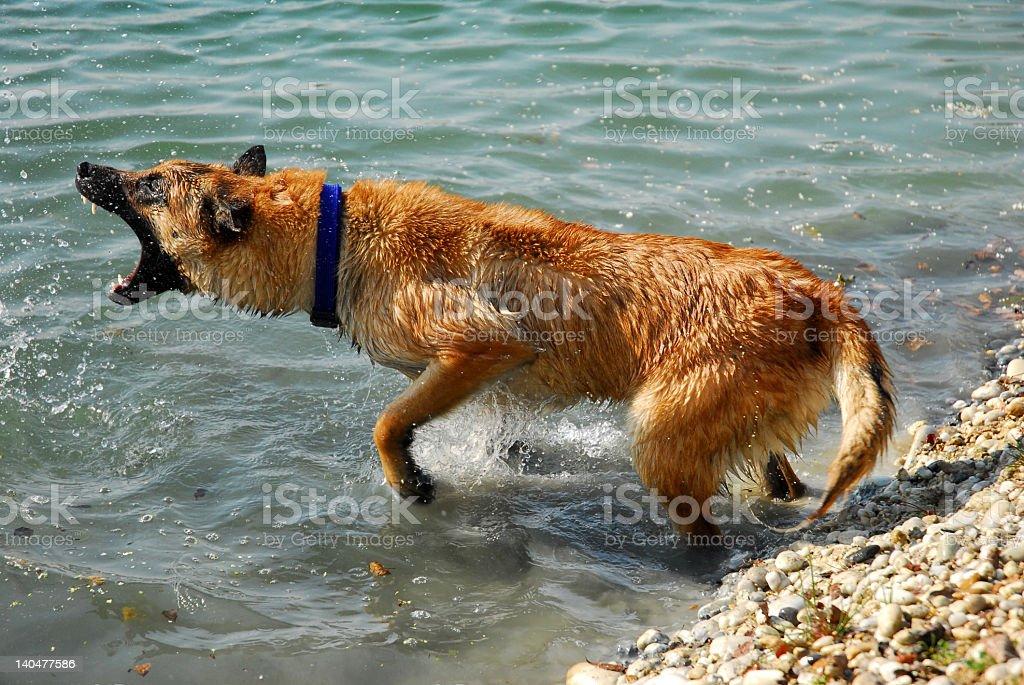 dangerous belgian dog royalty-free stock photo