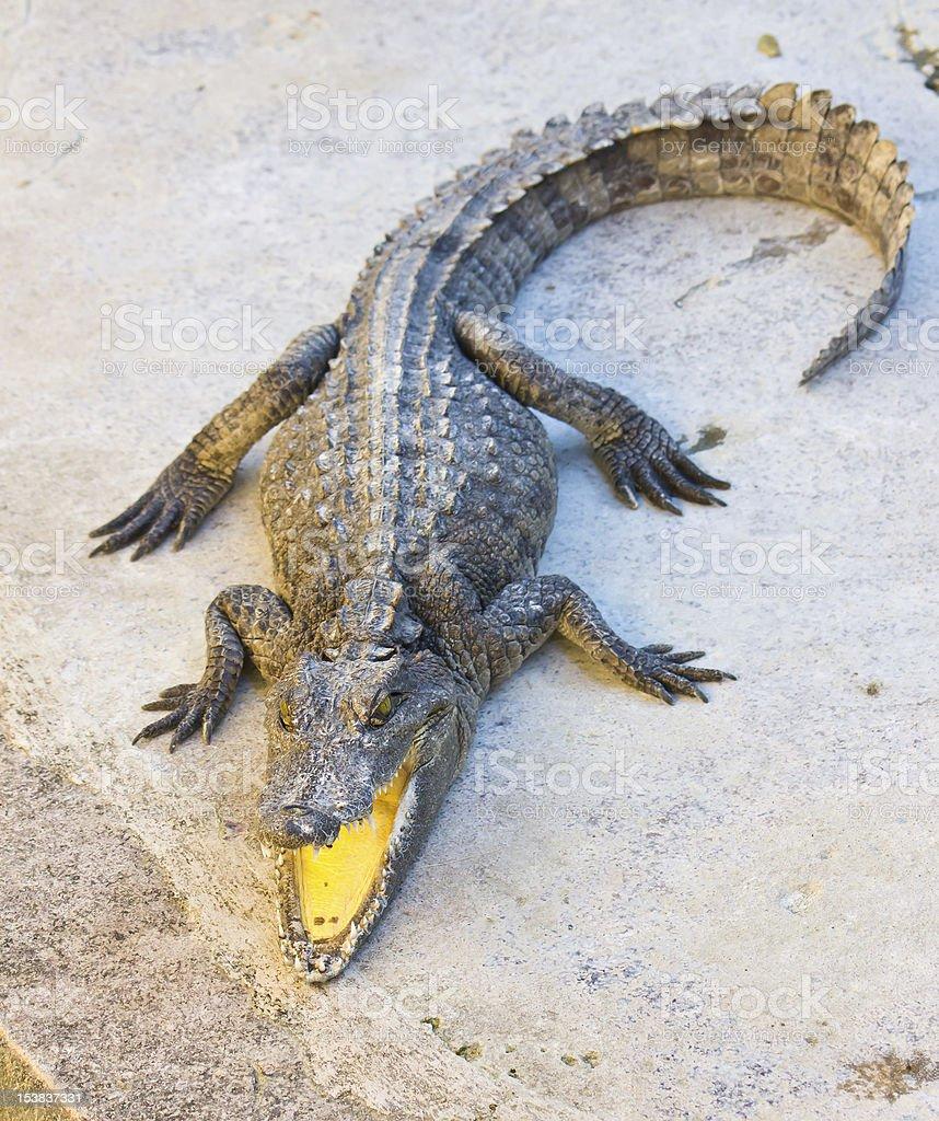 Pericoloso coccodrillo aprire bocca foto stock royalty-free