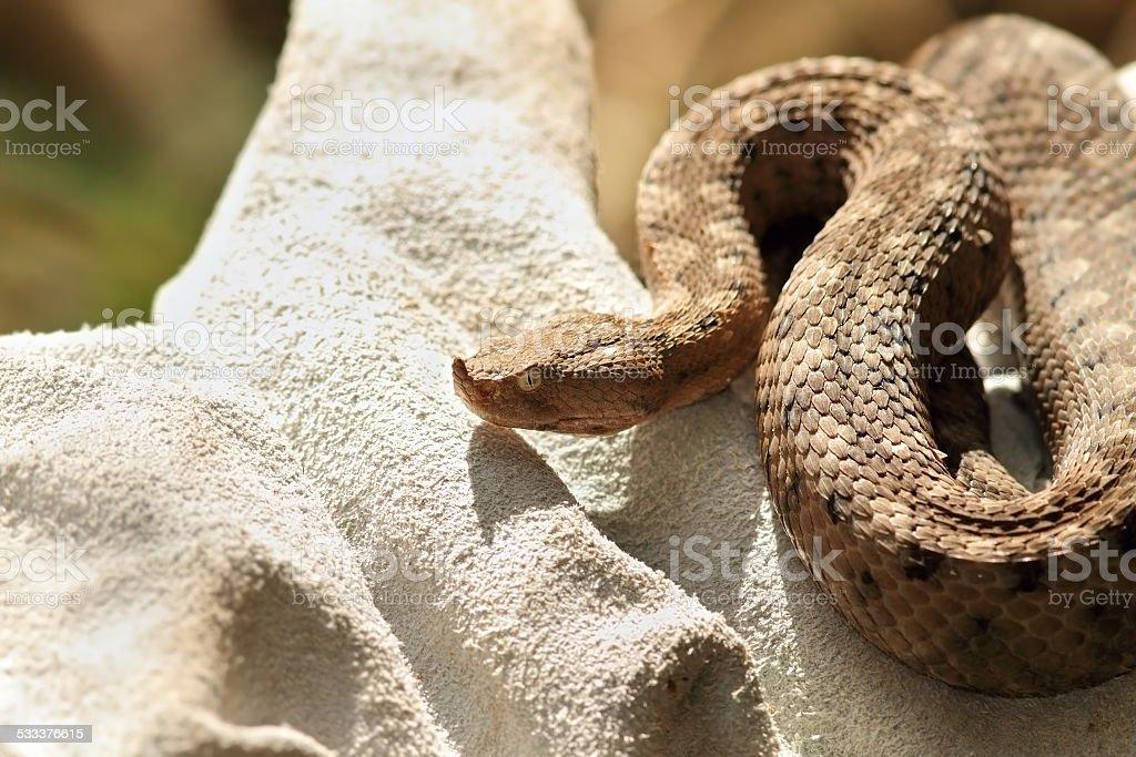 dangerous european snake on glove stock photo
