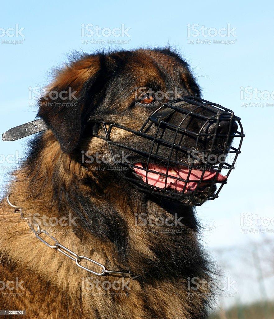 dangerous giant dog stock photo