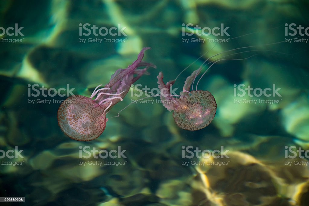 Dangerous jellyfish Pelagia Noctiluca, Liguria, Italy stock photo