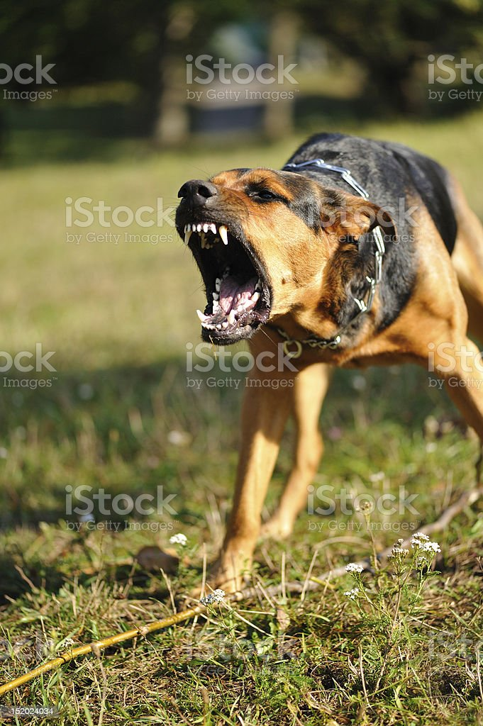 A dangerous looking dog with sharp teeth barking stock photo
