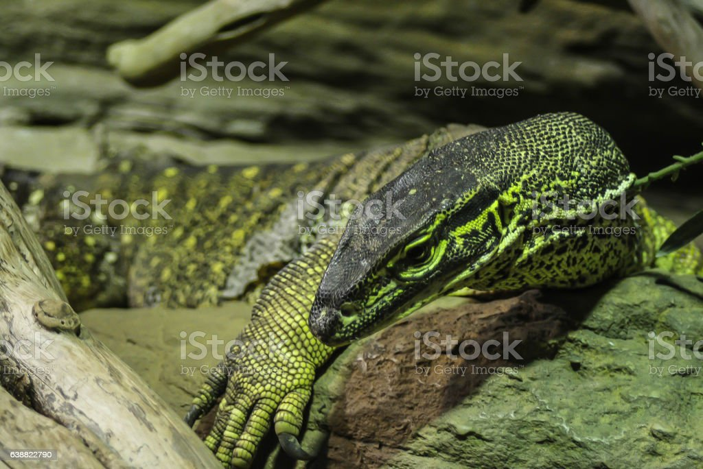 Dangerous poisonous big lizard Komodo stock photo