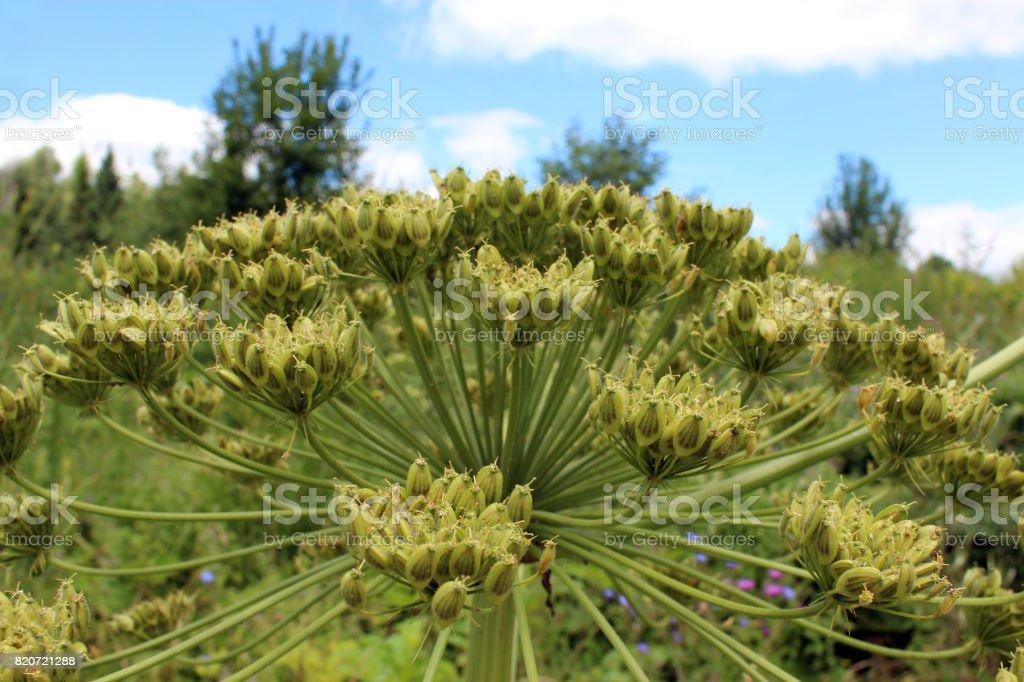 dangerous umbels of flowers of Heracleum stock photo