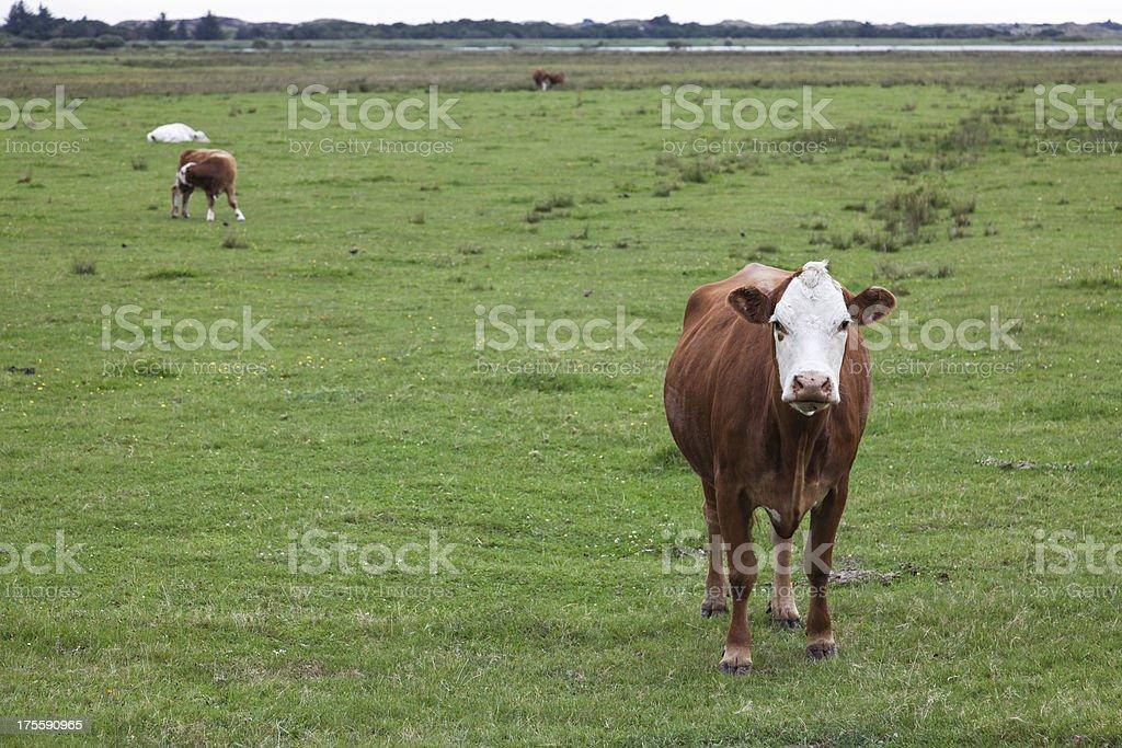 Danish cows stock photo