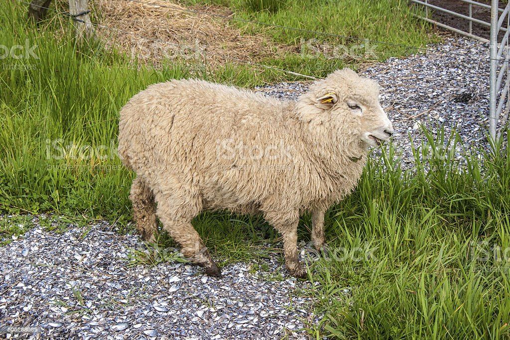 Danish Landrace Sheep royalty-free stock photo