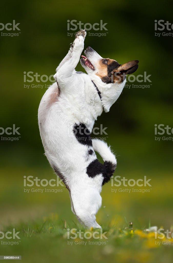 Danish Swedish farm dog outdoors in nature stock photo